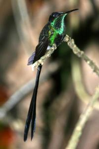 Scissor-tailed hummingbird