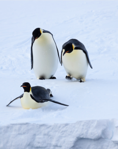 """If sea ice declines at the rates projected by the IPCC climate models, and continues to influence Emperor penguins as it did in the second half of the 20th century in Terre Adélie, at least two-thirds of the colonies are projected to have declined by greater than 50 percent from their current size by 2100,"" the study's lead author Stephanie Jenouvrier said. Photo by Peter Kimball, Woods Hole Oceanographic; used with permission."