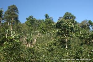 Shade Coffee Nicaragua
