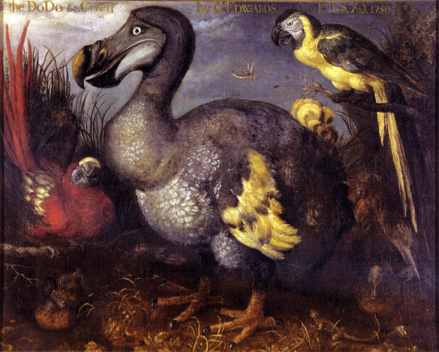 https://commons.wikimedia.org/wiki/File:Edwards%27_Dodo.jpg